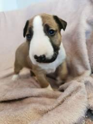 Bull Terrier Inglês pirata/fulvo/tricolor/white machos e fêmeas!