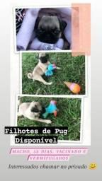 Filhotes Pug
