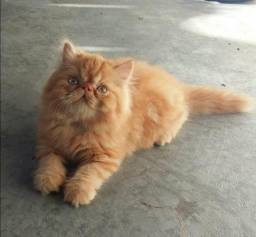 Filhotes de Gato Persa (em até 12x)