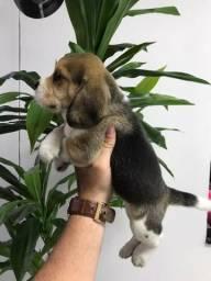 Beagle mini, a pronta entrega!