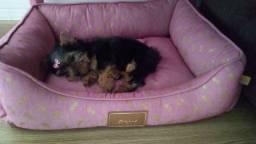 Yorkshire terrier legítimo FILHOTES