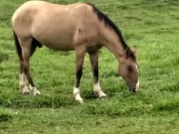 Cavalo meio sangue lusitano