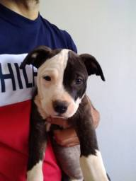 Filho fêmea de Americana staffordshire terrier