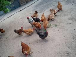 Vendo 30 galinhas e 5 frangos