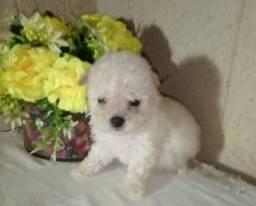 Título do anúncio: Poodle micro em promoção