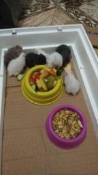 Vendo hamster sírio