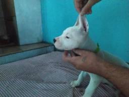 Título do anúncio: Filhotes de DOGO ARGENTINO