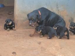 Cachorro rottweiler puro
