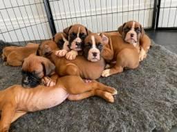 Boxer lindos filhotes raça pura