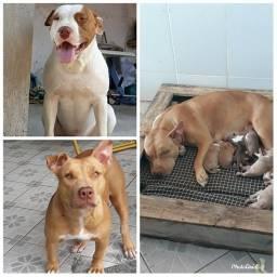 Título do anúncio: Filhotes de Pit Monster × American pitbull terrier