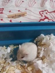 Título do anúncio: Estou vendendo uma hamster anão russo filhotes só tem um mês por 50,00