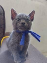 Título do anúncio: Gatinho Filhote Blue Russian ( Macho )