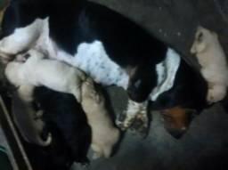 Basset Com Beagle