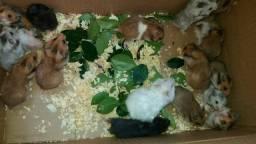 Doação de hamster