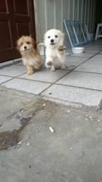 Vendo 2 cachorro Lhasa