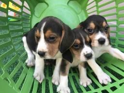 Beagle macho com pedigree e microchip