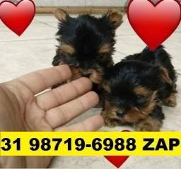 Canil Cães Premium Filhotes BH Yorkshire Poodle Shihtzu Lhasa Maltês Beagle Basset