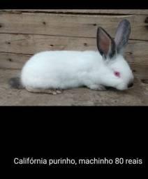 Lindo coelhos da raça Califórnia