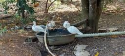 Vendo pato e galinha caipira e Pato