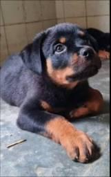 Filhotes de rottweiler( 2 meses e meio de vida saudáveis)