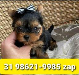 Título do anúncio: Canil Líder Filhotes Cães em BH Yorkshire Shihtzu Maltês  Lhasa Beagle Basset Poodle