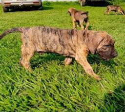 Título do anúncio: Cães filhotes de fila brasileiro