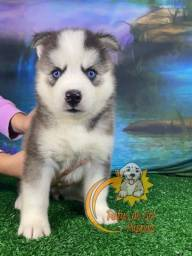 Belíssimos filhotes de Husky Siberiano