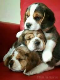 Filhotes de Beagle macho e fêmea lindos