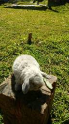 Mini coelho Lop