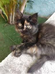 Filhotes fêmeas e machos de gato persa
