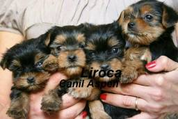 Lindos Filhotes de Yorkshire Terrier!