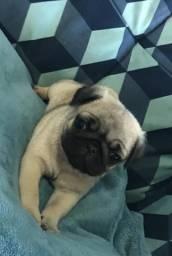 Filhote Pug macho em até (10x sem juros)