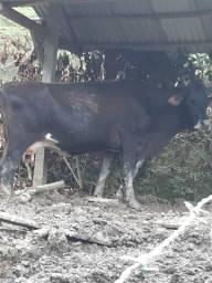 Vendo vaca gerse 1700