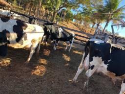 Gado de leite (lactação URGENTE)