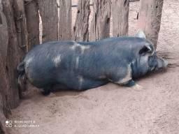 Porco paqueiro