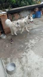 Husky a procura de namoradas