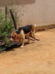 Vendo Beagle americano