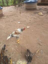 Vende-se frango caipira abatido