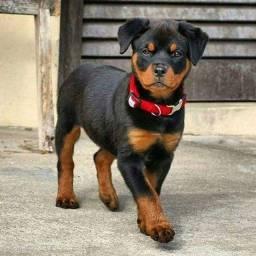 Filhotinhos de Rottweiler á pronta entrega com garantias!