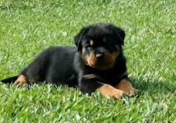 Rottweiler - Retire seu filhote hoje mesmo!