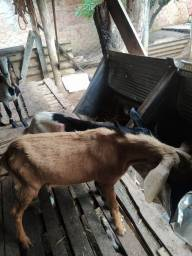 Título do anúncio: Cabras e bodes