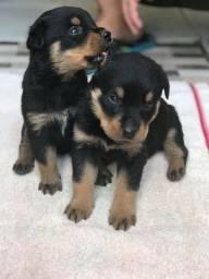 Vendo 2 filhotinhos  top de 2 mêses macho de rottweilers