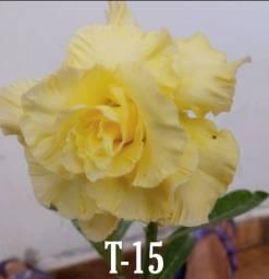 Rosas do deserto (Enxertos)