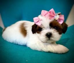 Maravilhosa princesa mini Shihtzu linhagem chocolate