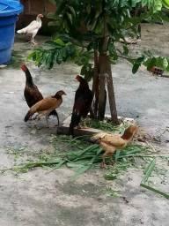 Vendo 2 casais de galinha capoeira novos