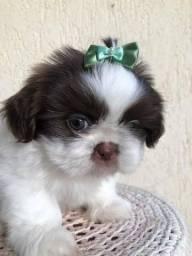 Shih Tzu mini filhotes