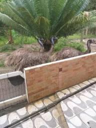 Emu adulto