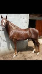 Mangalarga Marchador - Cavalo