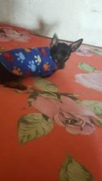 Título do anúncio: cachorro Pinter zero