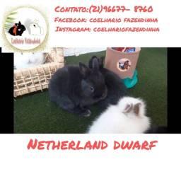 Título do anúncio: Netherland dwarf ( coelho anão)